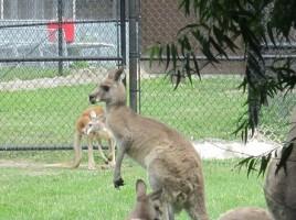 Potawatomi Zoo Kangaroo